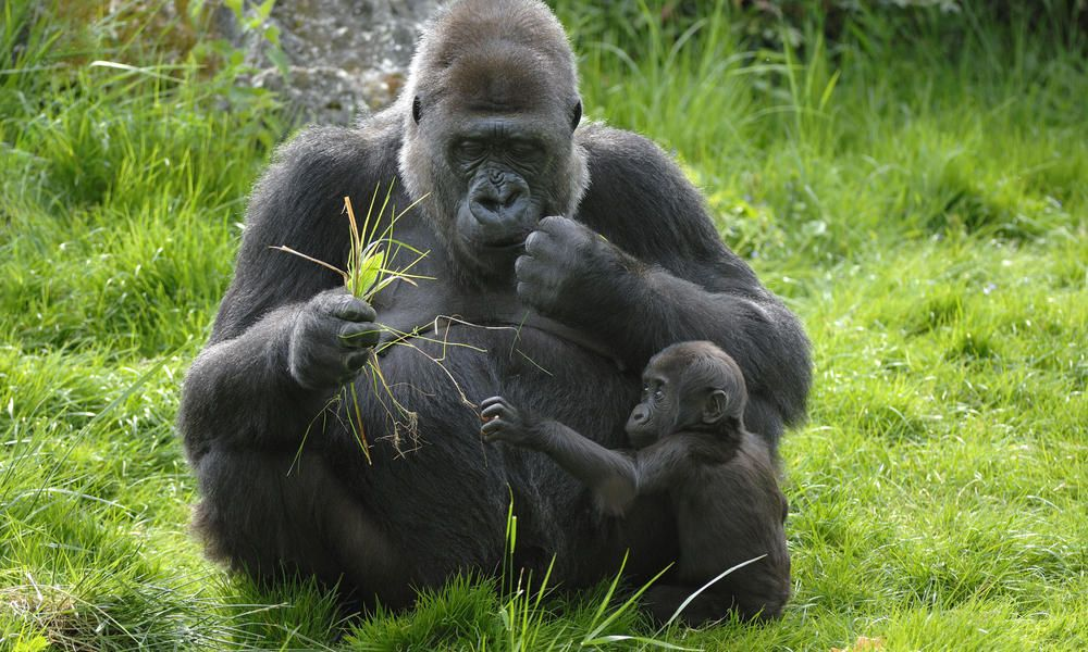 Goril·la de Muntanya (Gorilla beringei beringei) World Nature